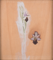 Artist Winifred Knights: Study of Ophrys Bertolonii, commonly known as Bertolonis Bee Orchid, circa 1925